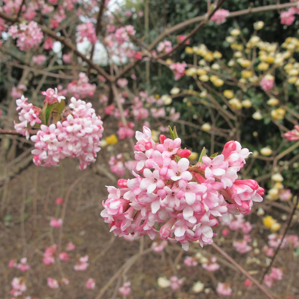 Viorne de Bodnant (Viburnum x bodnantense) 'Dawn'