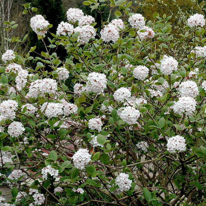 Viorne de Carles, viorne de Corée (Viburnum carlesii) Espèce type
