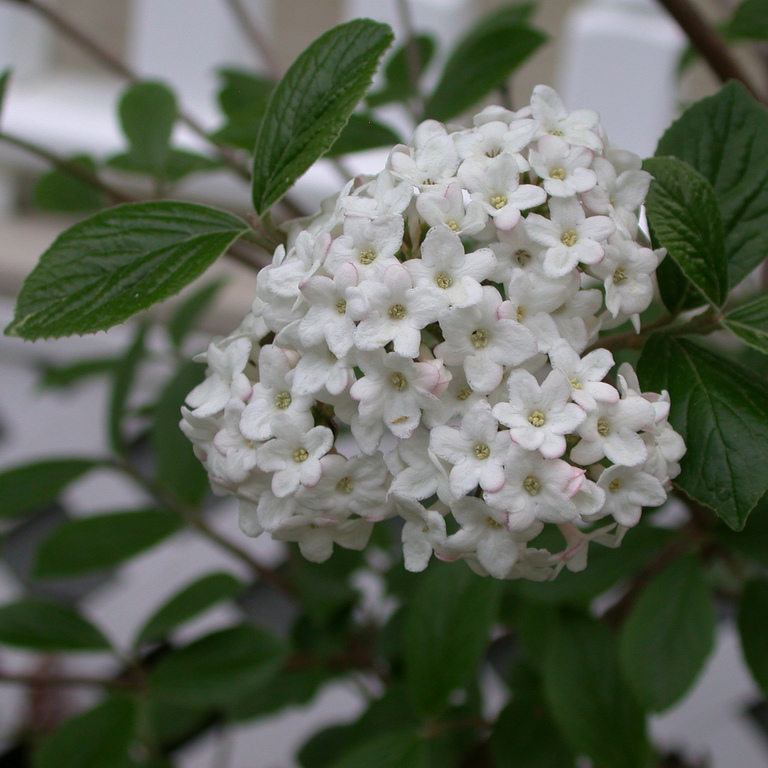 Viburnum utile  Espèce type