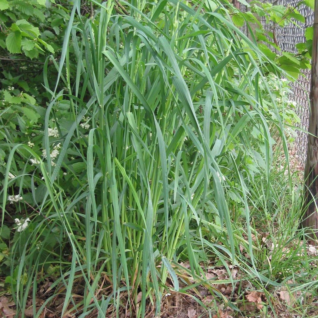 Dactylus glomerata syn Festuca glomerata