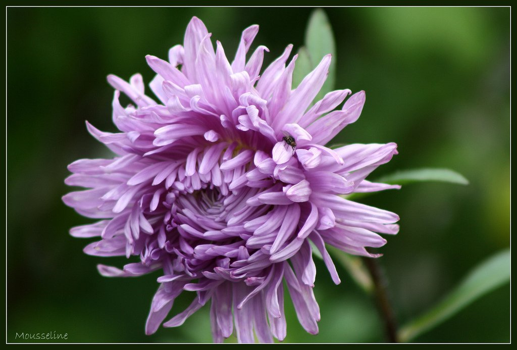 Reine-marguerite : planter et cultiver – Ooreka