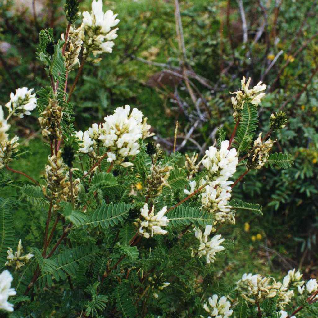 Astragalus gummifer (syn. Astracanthagummifera)
