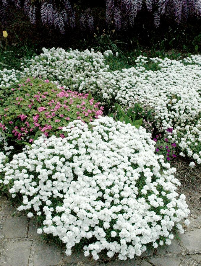 Thlaspi planter et entretenir ooreka for Plante pour massif sans entretien
