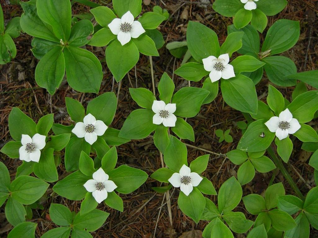 Cornus canadensis planter et entretenir ooreka for Jardines que necesitan poca agua