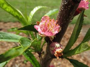 Culture et entretien du nectarinier