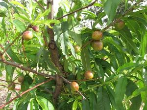 Plantation du nectarinier