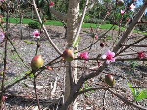 Multiplication du nectarinier