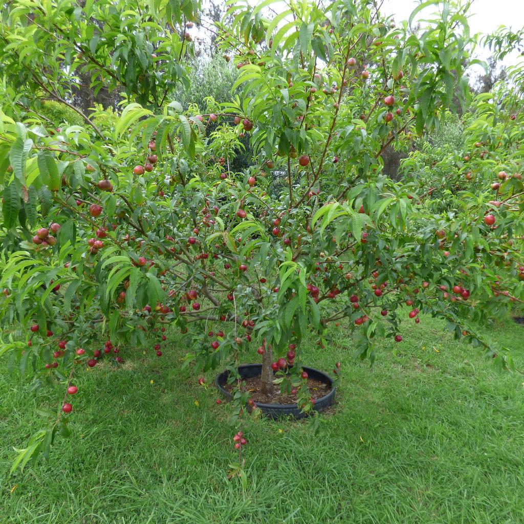 Nectarinier nain Prunus persica var. nucipersica RUBIS® 'Necta Zee'
