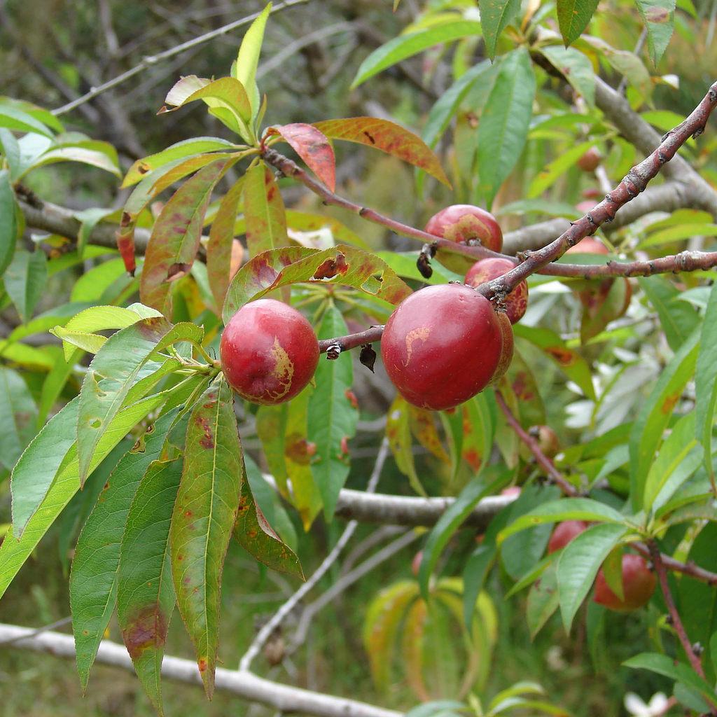 Nectarinier (Prunus persica var. nucipersica) Espèce type