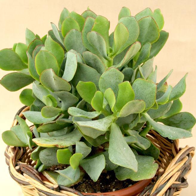 Espèces d'intérieur Crassula arborescens ssp. undulatifolia