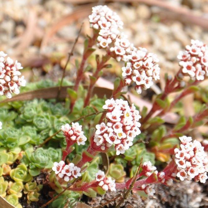 Espèces d'extérieur Crassula setulosa var. Rubra (syn.: var. curta)