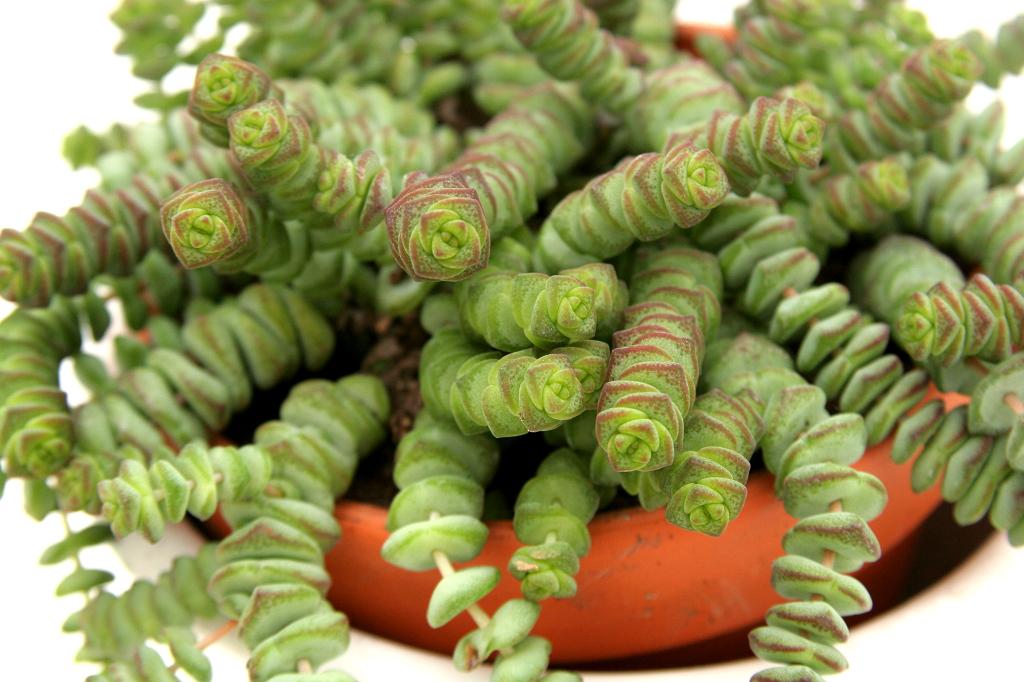 crassula   planter et entretenir  u2013 ooreka