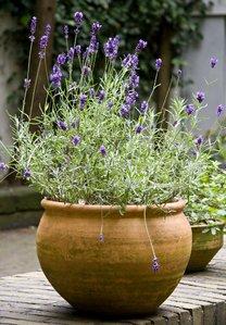 Lavande planter et tailler comprendrechoisir - Plants de lavande a vendre ...