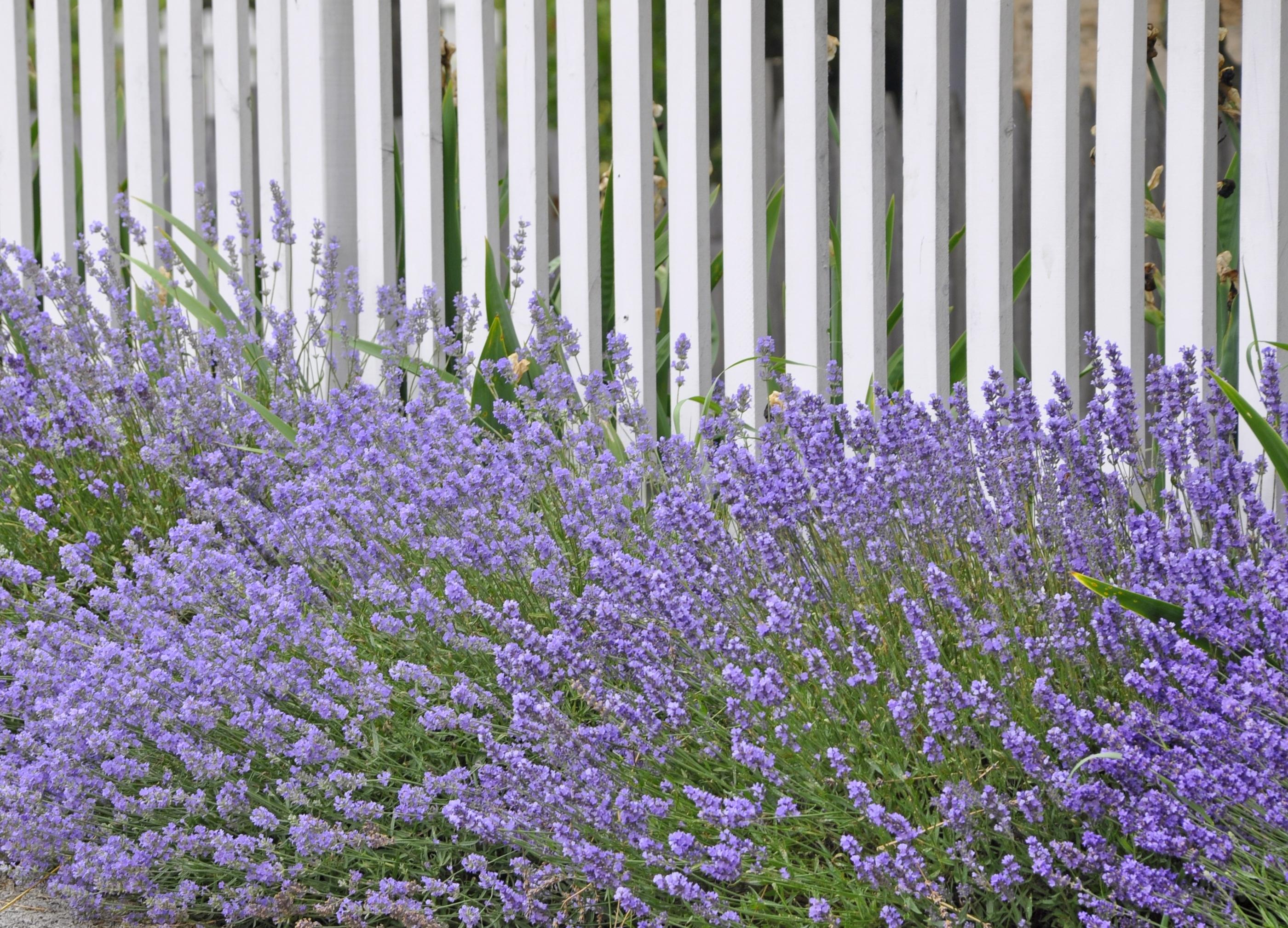 Idee De Plantation Pour Parterre lavande : planter et bouturer – ooreka