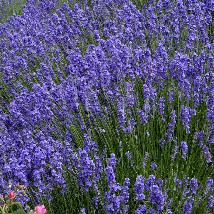 Lavande vraie ou lavande fine (Lavandula angustifolia)