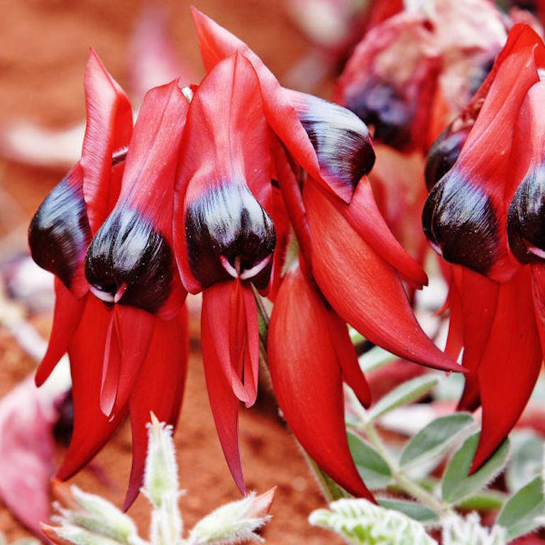 Vivaces Pois du désert (Swainsona formosa)