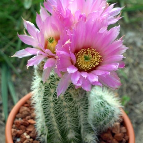 Echinocierge de Reichenbach, Cactus dentelle (Echinocereus reichenbachii)