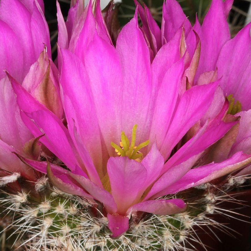 Cactus hérisson (Echinocereus chisoensis)