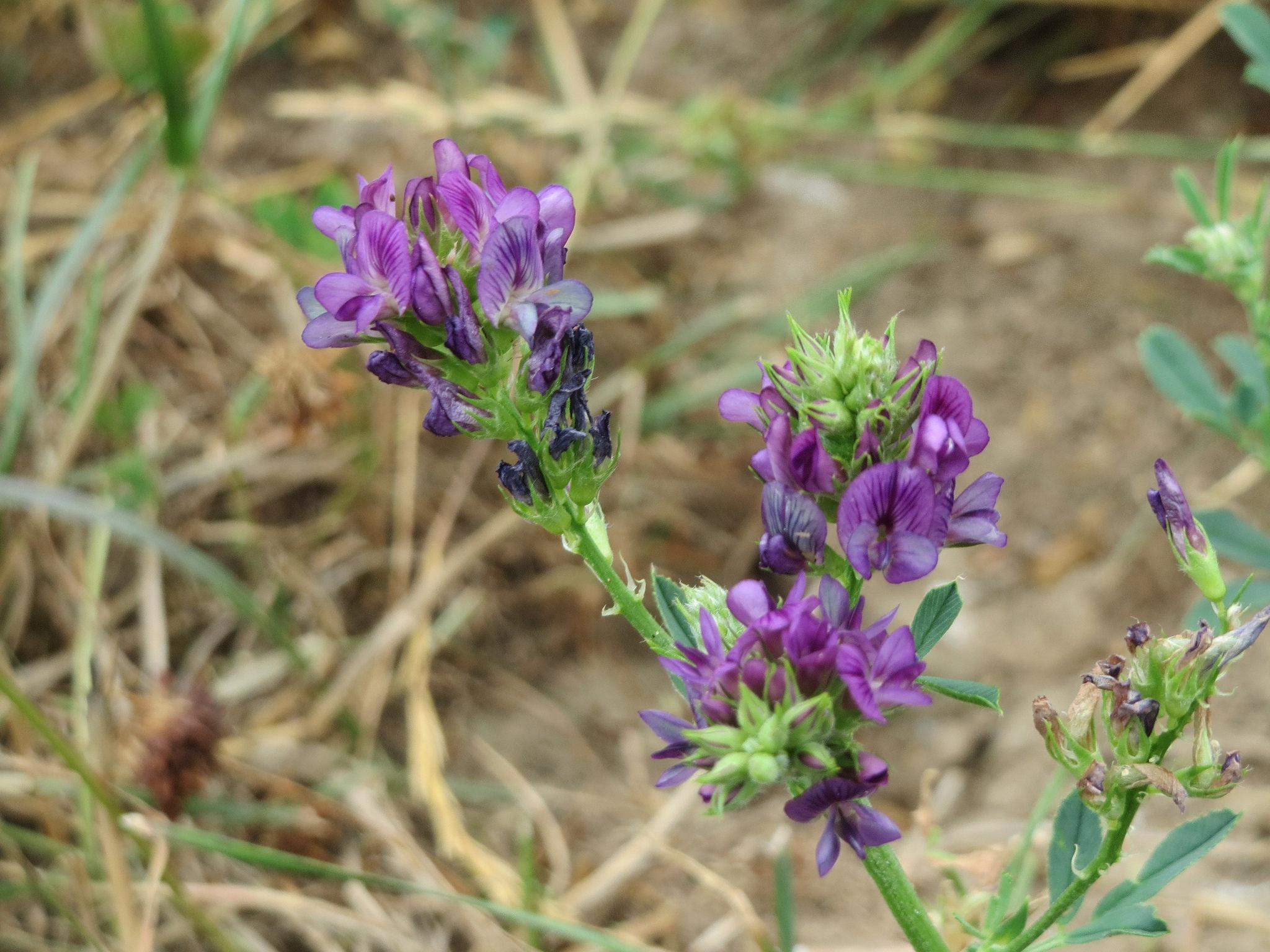 Luzerne semer et planter ooreka for Plante 4 images 1 mot