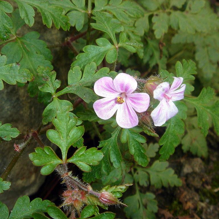 Sous-espèce Géranium pourpre (Geranium robertianum subsp. purpureum, syn. G.purpureum)