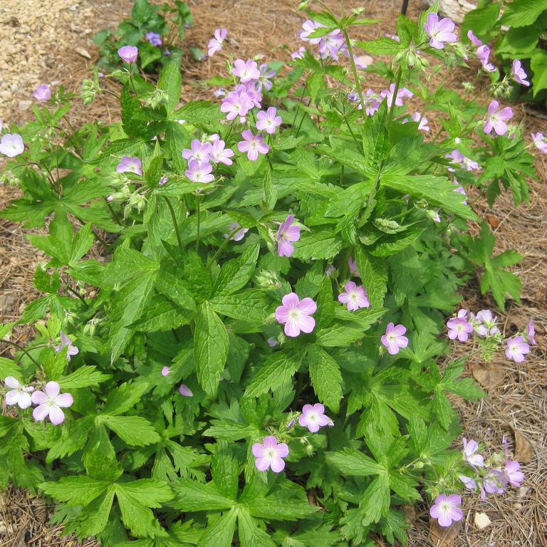 Autre espèce à usage médicinal Geranium maculatum