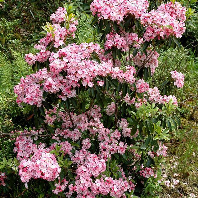 Laurier des montagnes (Kalmia latifolia) f. fuscata 'Freckles'