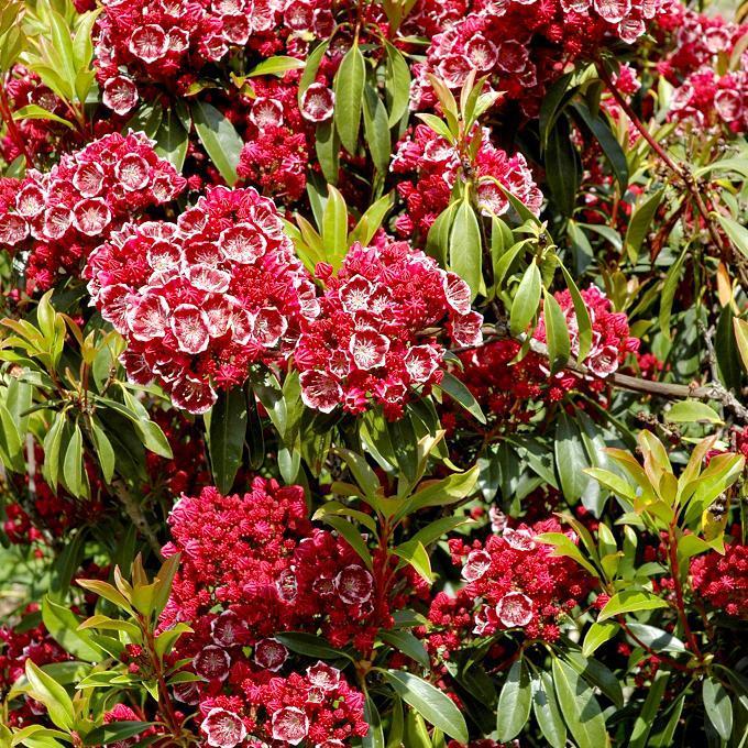 Laurier des montagnes (Kalmia latifolia) 'Kaleidoscope'