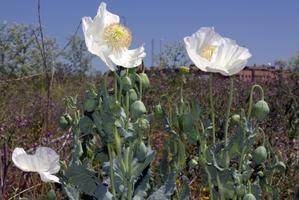Plantation de <em>Romneya coulteri</em>