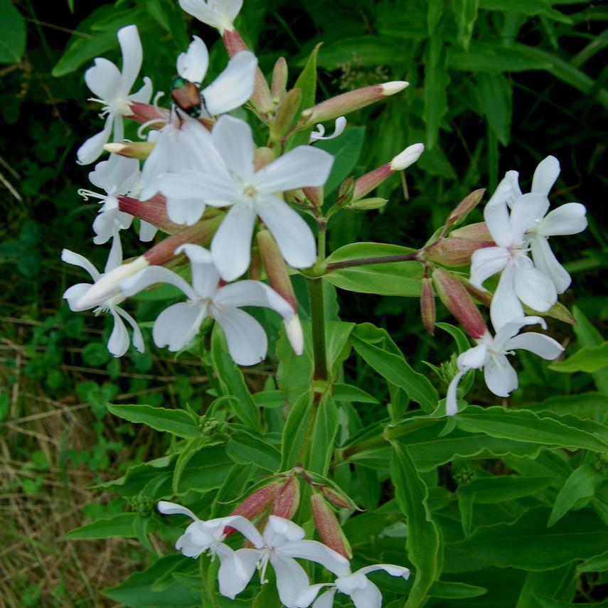 Saponaire officinale, plante savon (Saponaria officinalis) 'Alba Plena'
