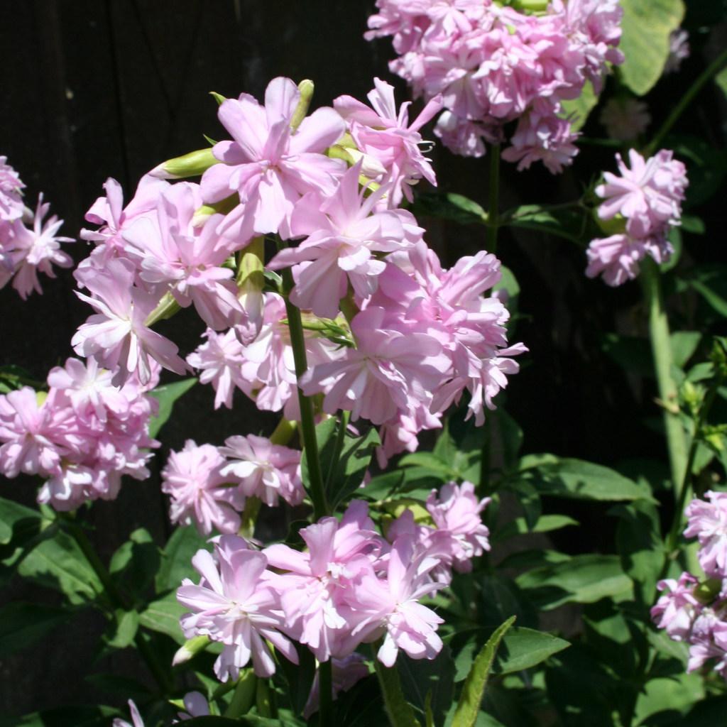 Saponaire officinale, plante savon (Saponaria officinalis) 'Rosea Plena'