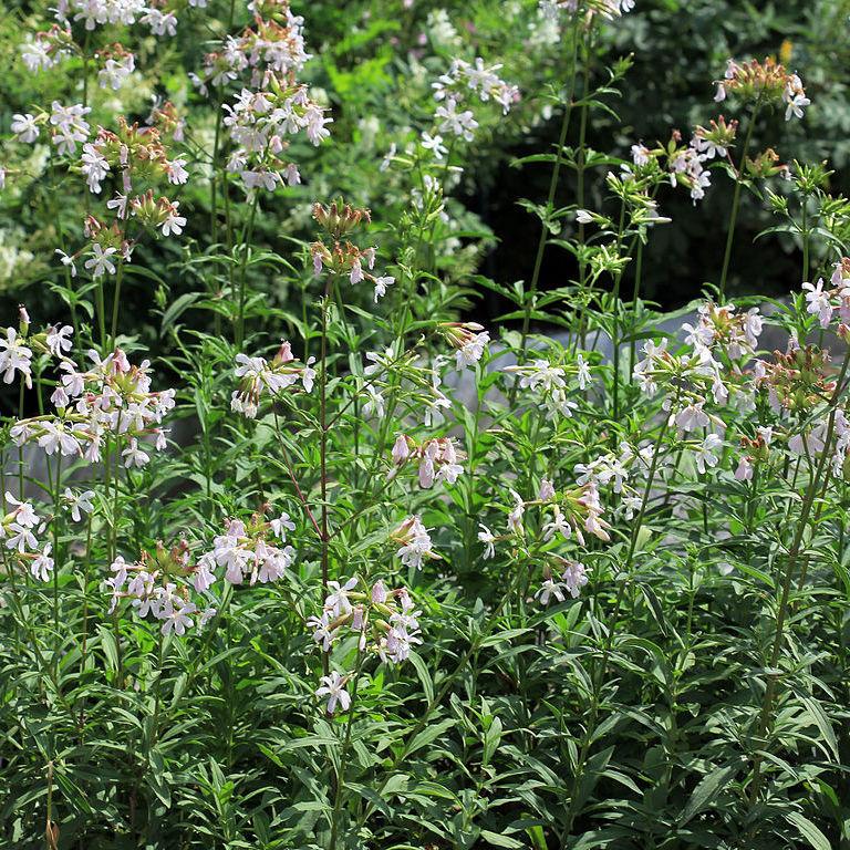 Saponaire officinale, plante savon (Saponaria officinalis) Espèce type