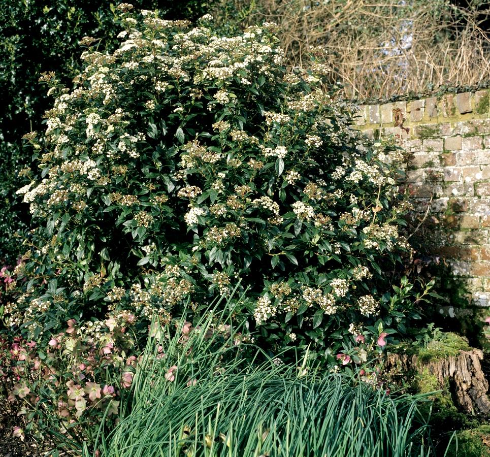 Taille Du Laurier Tin laurier tin : planter et tailler – ooreka