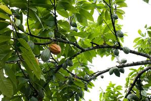 Multiplication du cacaoyer