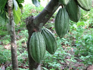 Culture et entretien du cacaoyer