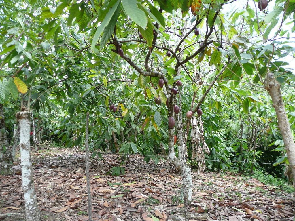 cacoyer : planter et entretenir – ooreka