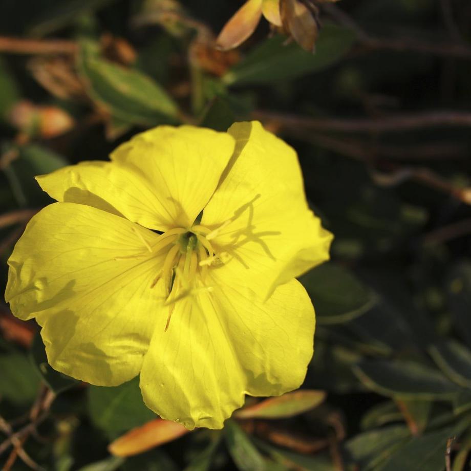 Œnothères vivaces Oenothera fruticosa 'Sonnenwende'