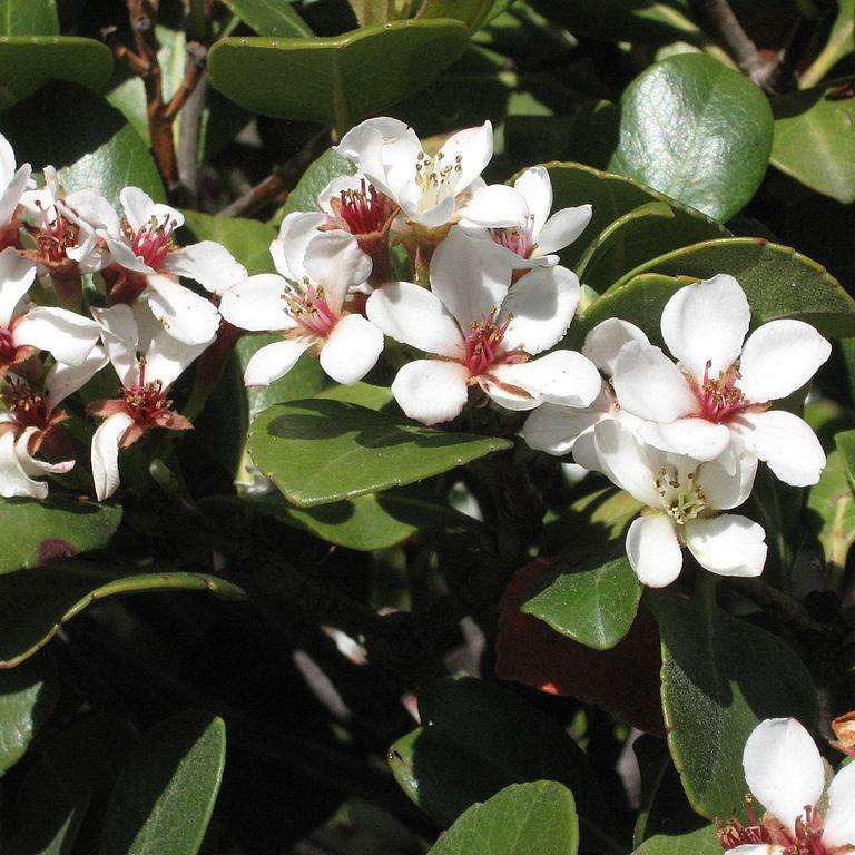 Raphiolepis umbellata (syn japonica)