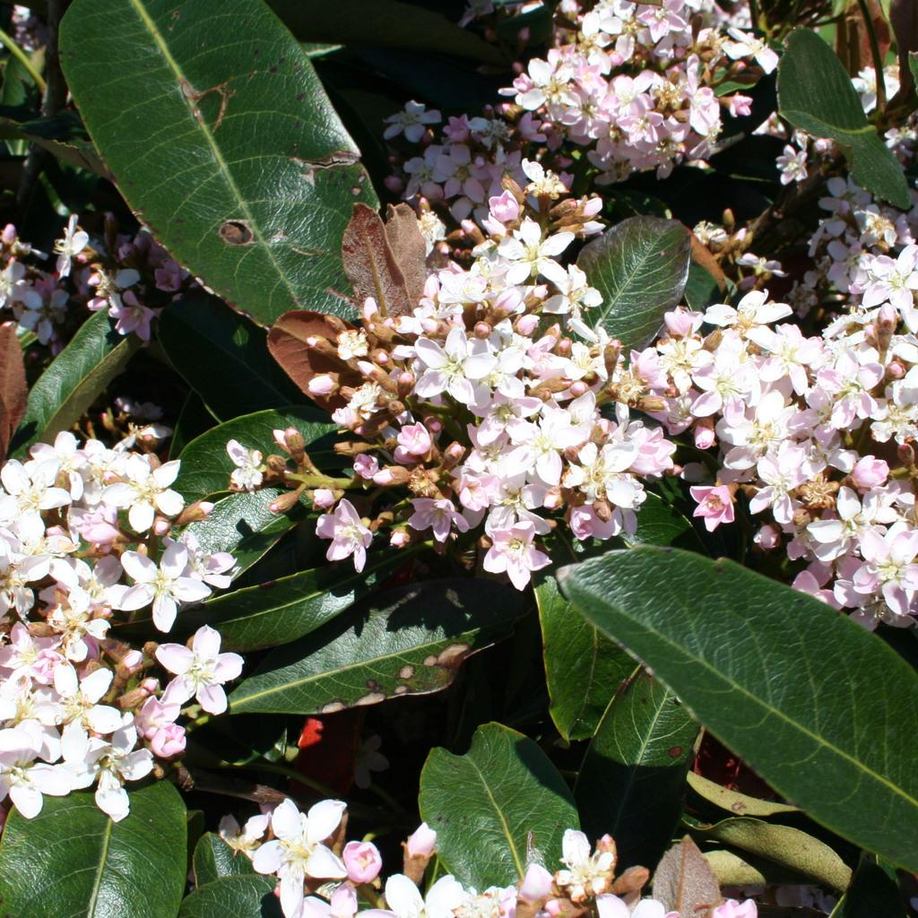 Raphiolepis indica (syn Crataegus indica)