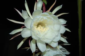 Plantation du <em>Selenicereus grandiflorus</em>