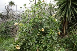 Plantation du <em>Solandra</em>