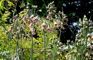 Multiplication de <em>Nectaroscordum siculum</em>