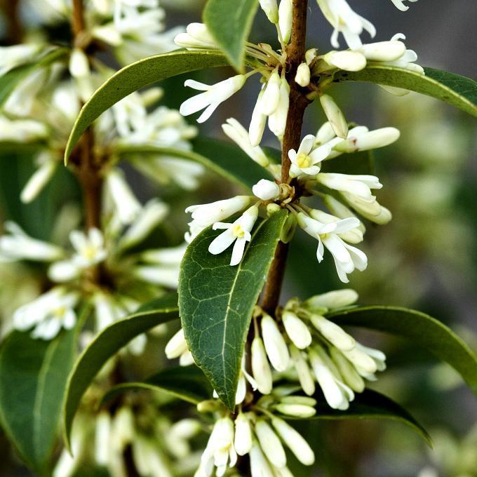 Variétés à feuilles à bord lisse Osmanthus x burkwoodii