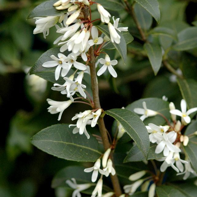 Variétés à feuilles dentées Osmanthe odorant (Osmanthus fragrans)