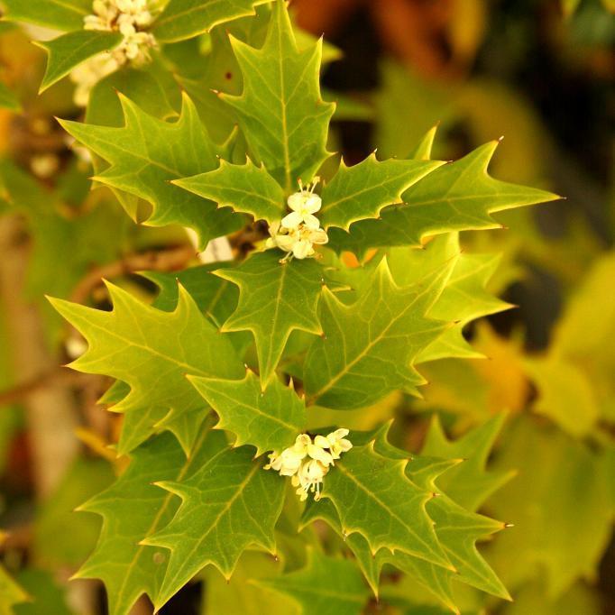 Variétés à feuilles piquantes Osmanthe à feuilles variables (Osmanthus heterophyllus)