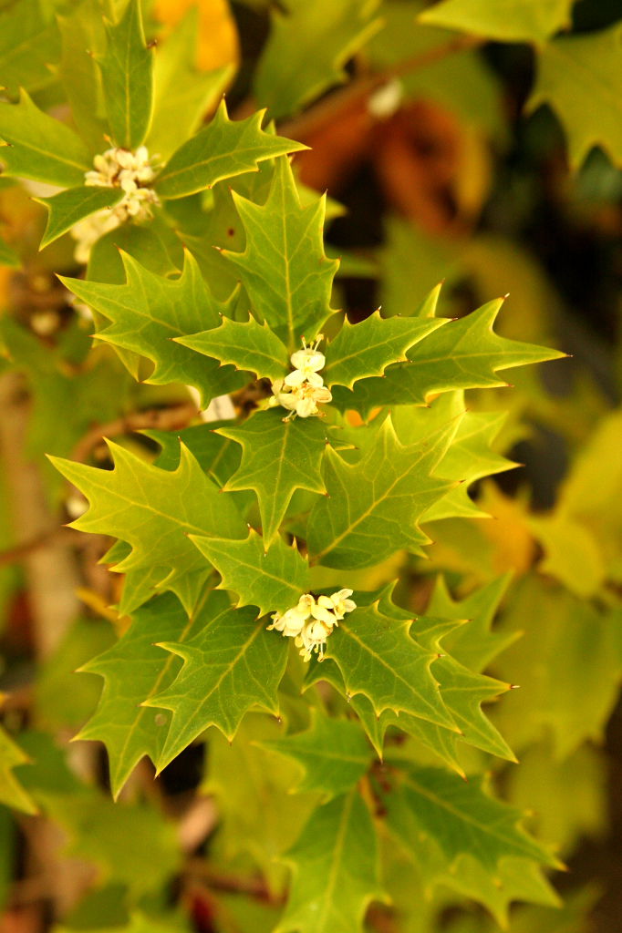 Osmanthe planter et entretenir ooreka for Ou trouver de belles plantes artificielles