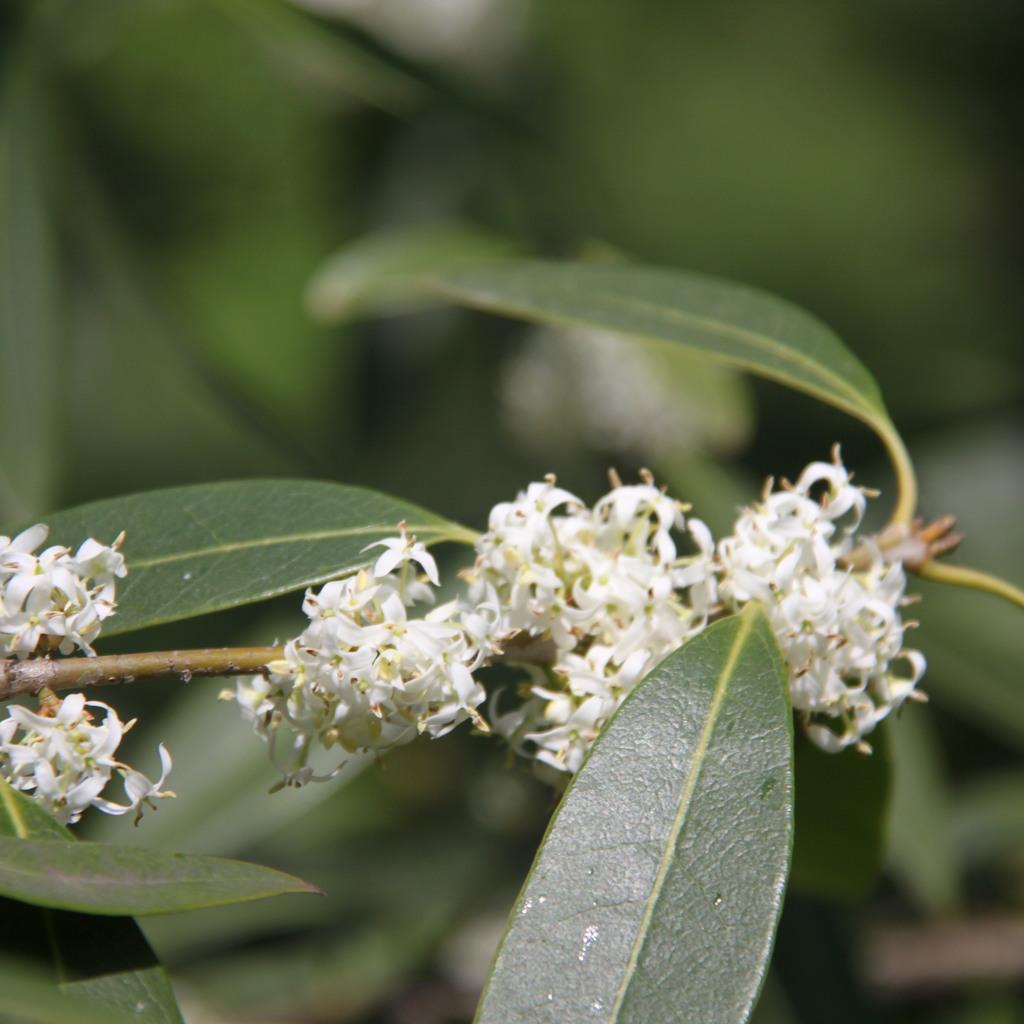 Variétés à feuilles à bord lisse Osmanthus decorus
