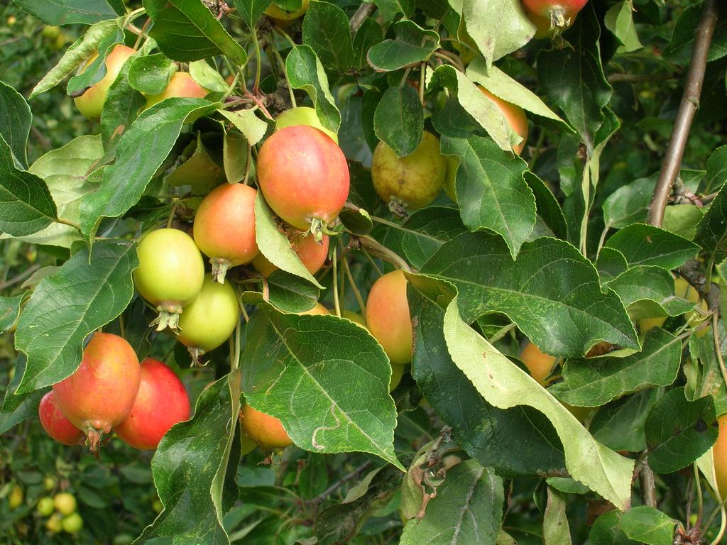 Pommier sauvage : planter et entretenir – Ooreka