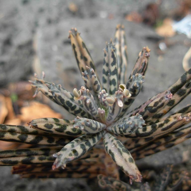 Espèces non rustiques Plante chandelier (Bryophyllum delagoense, syn. Kalanchoe delagoensis)