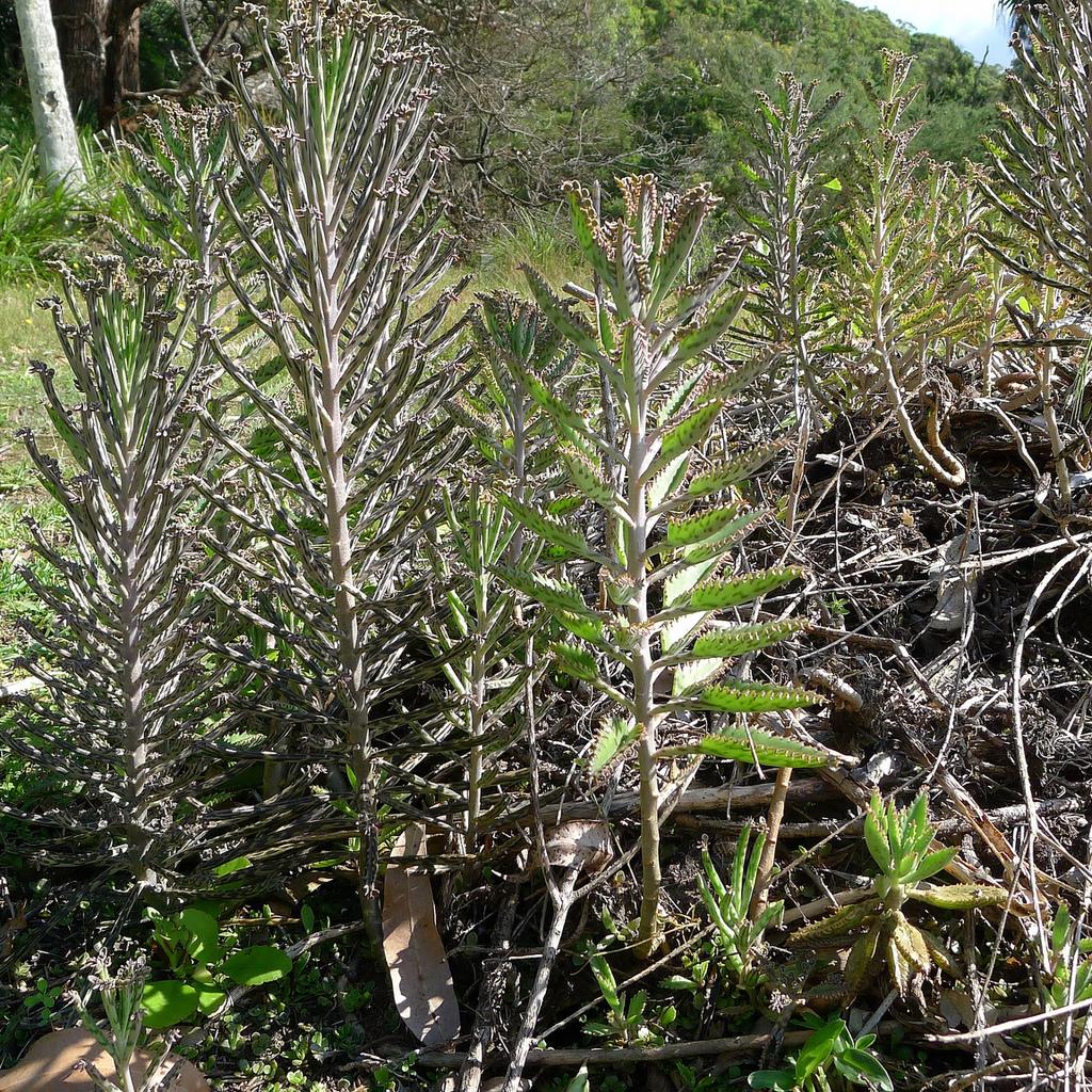 Hybride Bryophyllum daigremontiana x K.delagoense