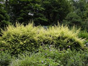 Plantation d'un <em>Lonicera nitida</em>